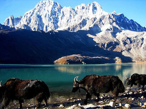 Yaks frente al lago de Gokyo
