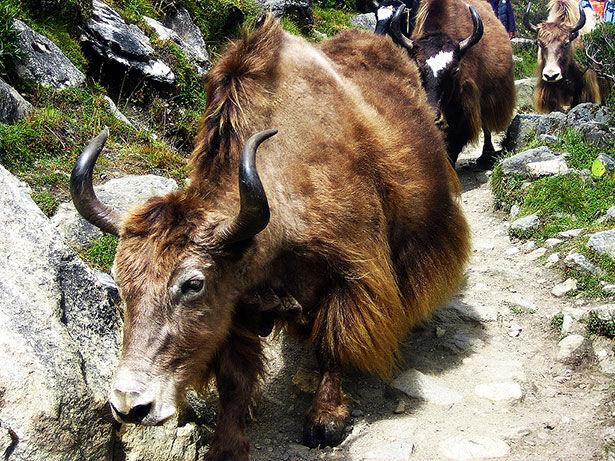 Los imponentes yaks del Himalaya