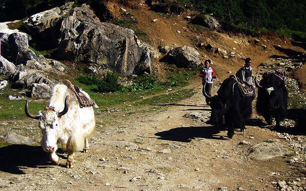 Pastores de yaks en el camino