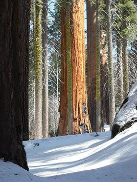 tahoe-bosque