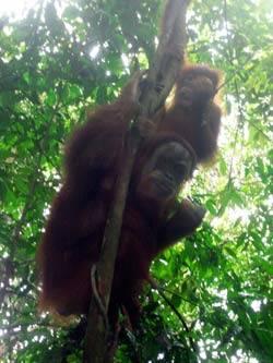 oragutan sumatra