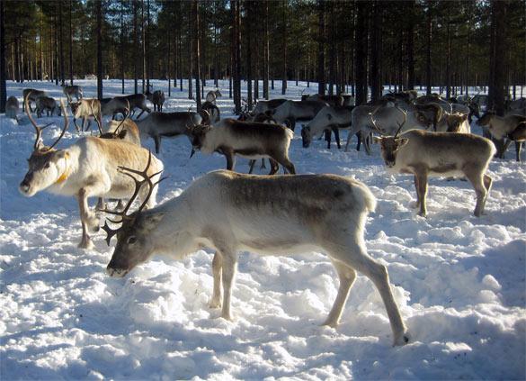 manada-renos-laponia-sueca