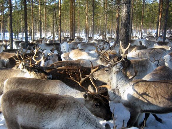 renos-laponia-sueca
