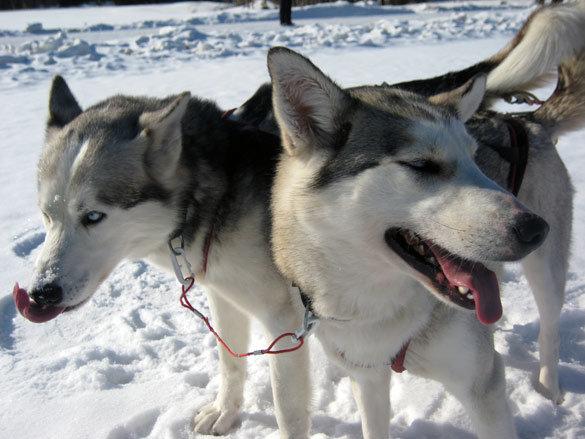 trineo_perros_huskies_laponia