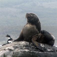 ushuaia-foca
