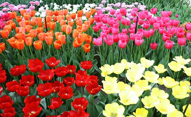 flores_holanda