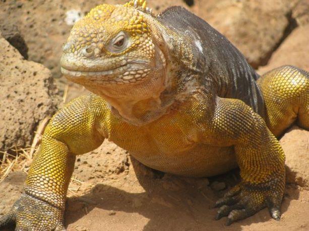 Uno de los numerosos maravillosos reptiles que pueblan las Galápagos