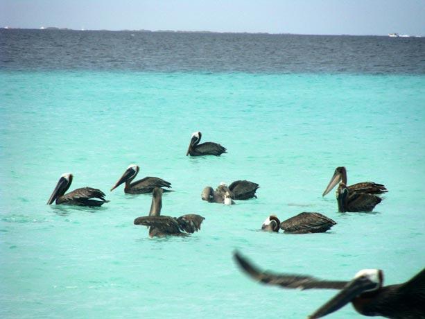 los-roques-pelicanos