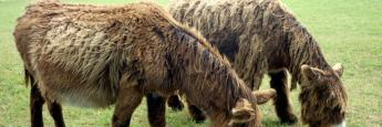 Los famosos burros de Poitou. Éstos no llevaban los pantalones puestos pero su pelaje es inconfundible.