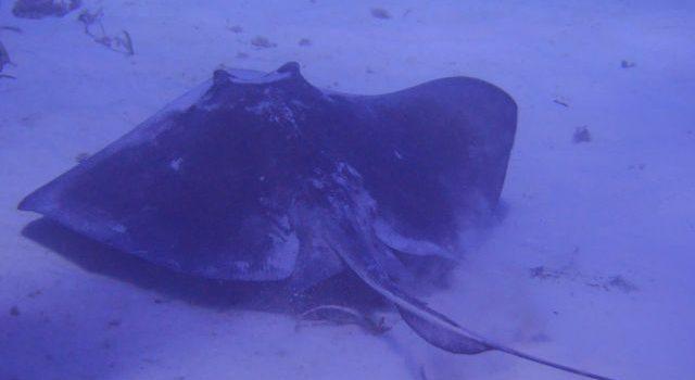 Las mantas rayas se encuentran en gran número cerca de la isla