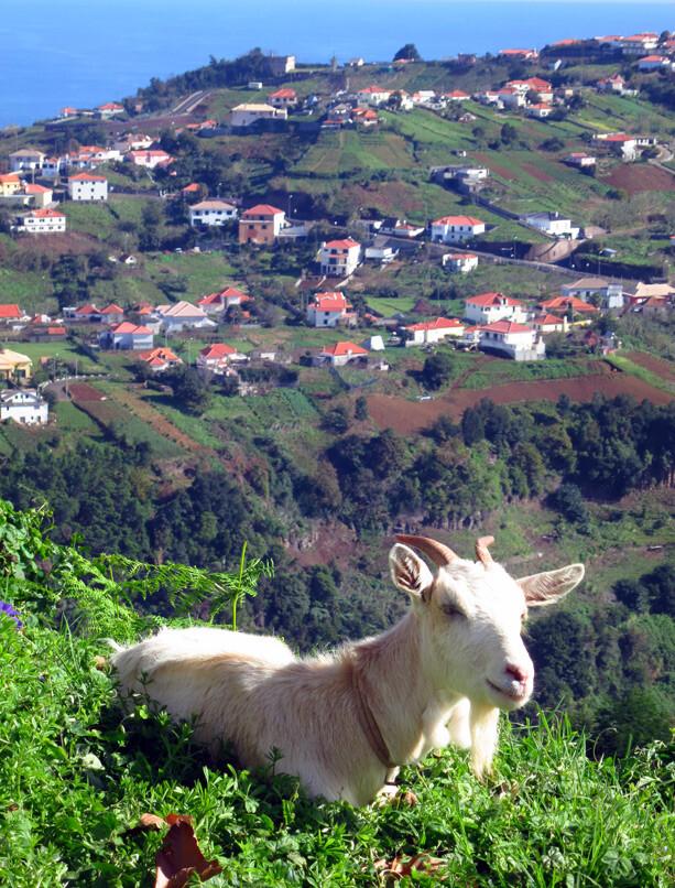 cabras en Madeira