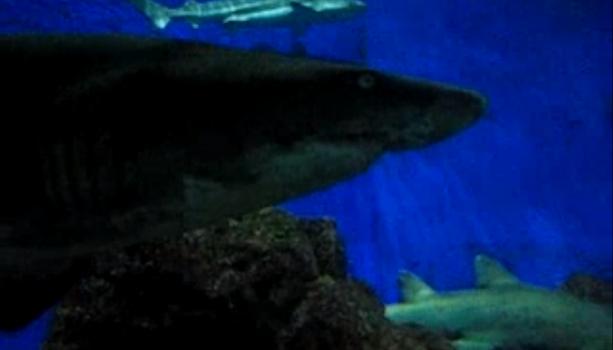 Tiburones Acuario Sentosa Singapur