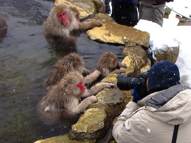 Fotografiando los monos de Jigokudani en Japón