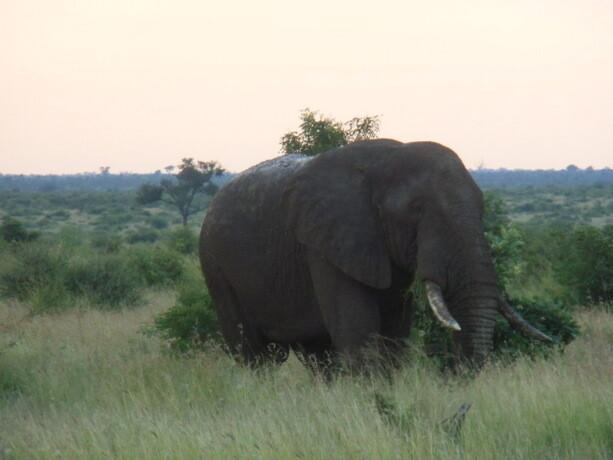 Un gran elefante macho en el atardecer en Kruger Park, Sudáfrica