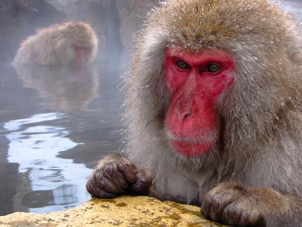 Macaco muy concentrado en Jigokudani