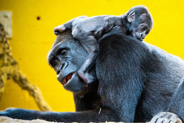 Gorila y cría en Cabárceno