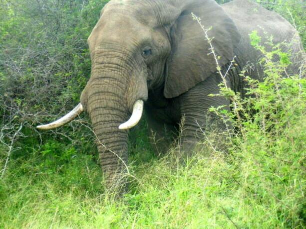 Uno de los elefantes macho más grandes que pude contemplar de cerca en Kruger