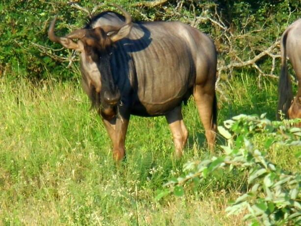 El poderoso búfalo