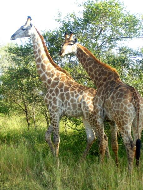 Las imponentes jirafas nos recibieron nada más entrar