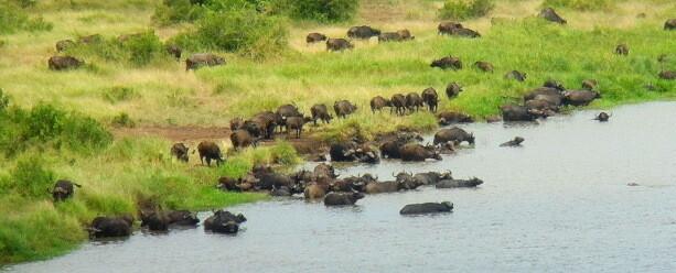 Los búfalos africanos son indomables, como el espíritu del continente
