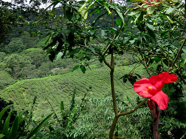 plantaciones-te-malasia