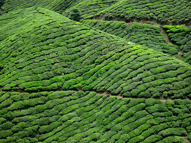 te-cameron-highlands