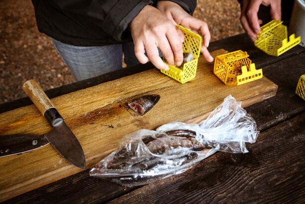 Preparando el cebo para cangrejos de río en Ramoa