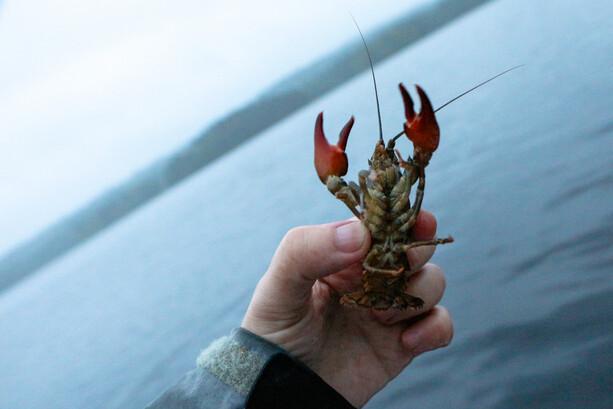 Un cangrejo que vuelve al lago en Ramoa por ser demasiado pequeño