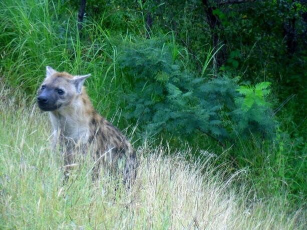 Una hiena, muy complicadas de ver, fue nuestro regalo de despedida del Kruger