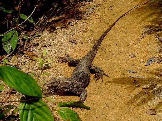 lagarto-malasia