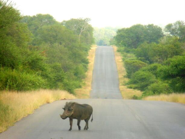 Persiguiendo a la leona se nos cruzó este individuo..