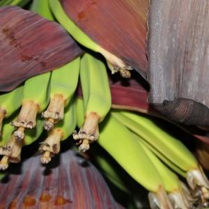 Plátanos creciendo en la mata.