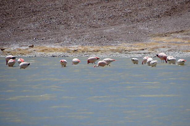 Laguna Brava flamencos