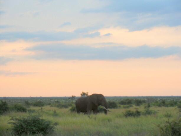 Un elefante deambula a solas antes del anochecer en el Kruger sudafricano