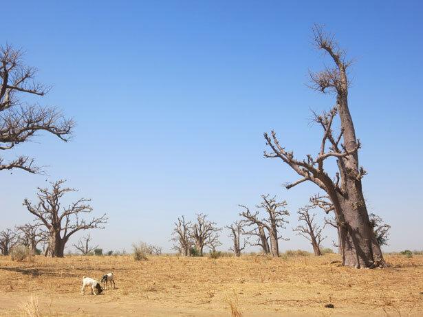 baobabs-cabras