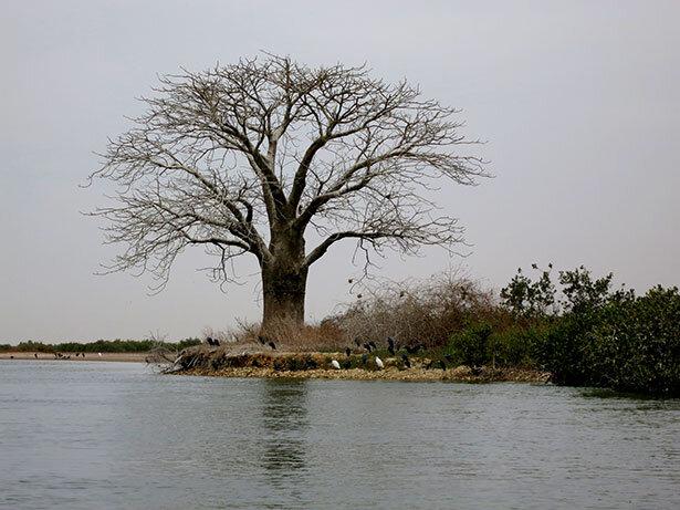 baobab-saloum-senegal
