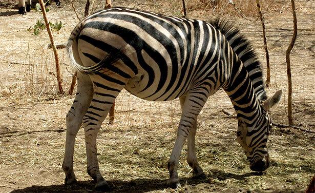 cebra-senegal
