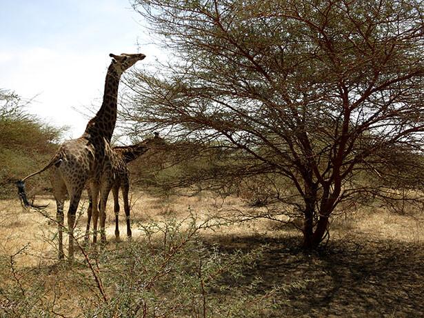 Jirafas en la Reserva Natural de Bandía en Senegal