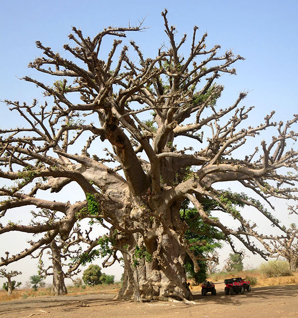 Uno de los baobabs más grandes que vi en Senegal