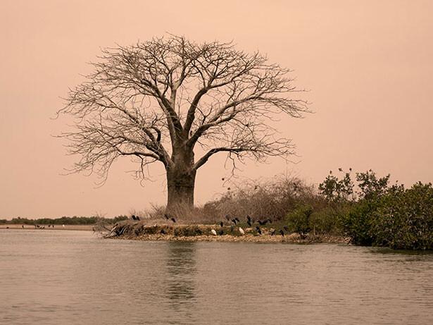 baobab-senegal