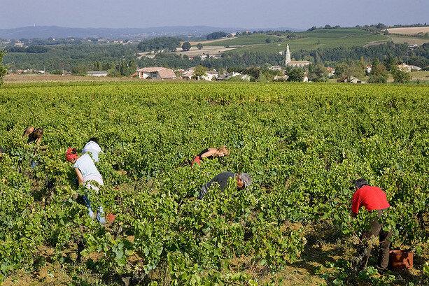 Vendimiadores en la bodega Plageoles (CC Vins Plageoles)