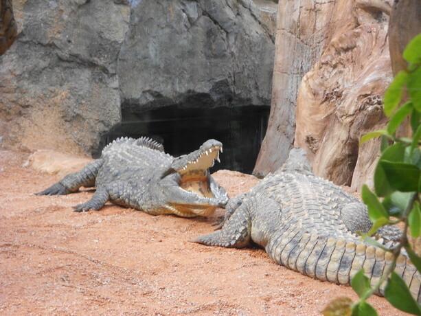 Los temibles cocodrilos
