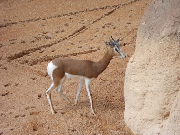 La gacela de Mohr ya no se encuentra en estado salvaje
