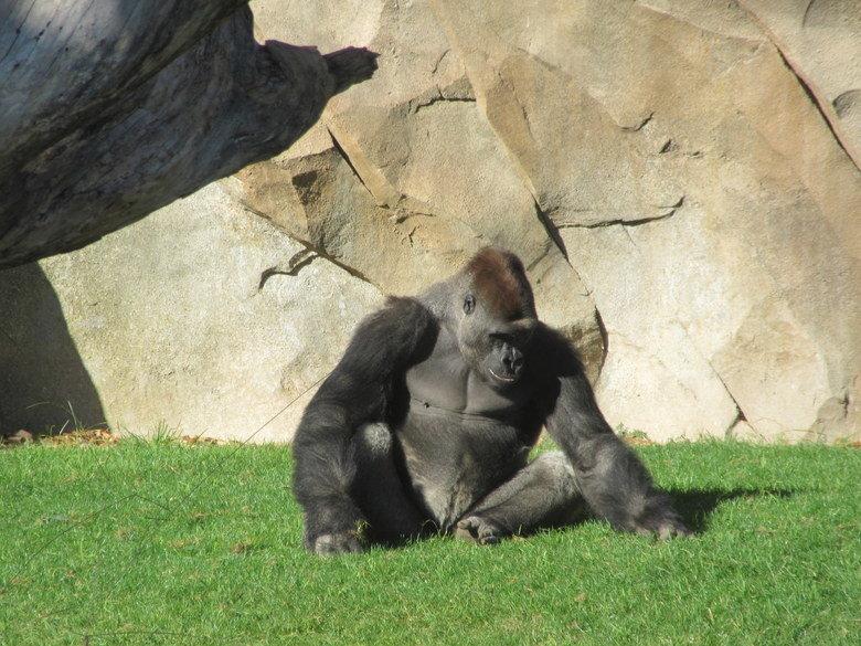 gorila-bioparc