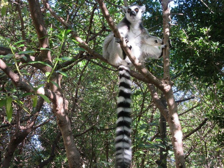 lemur-bioparc
