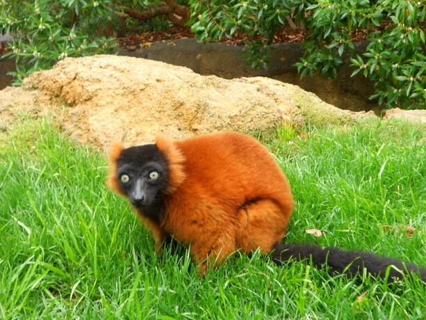 ...y más lemures