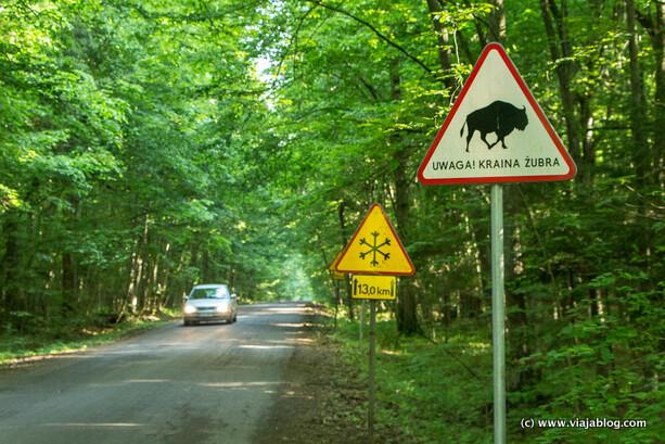 Cuidado con los bisontes salvajes en Bialowieza (Polonia)
