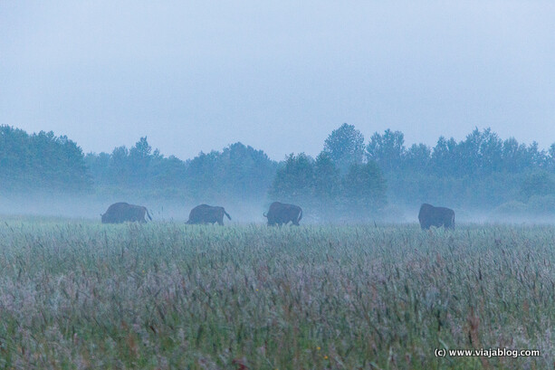Bisontes salvajes en Bialowieza (Polonia)