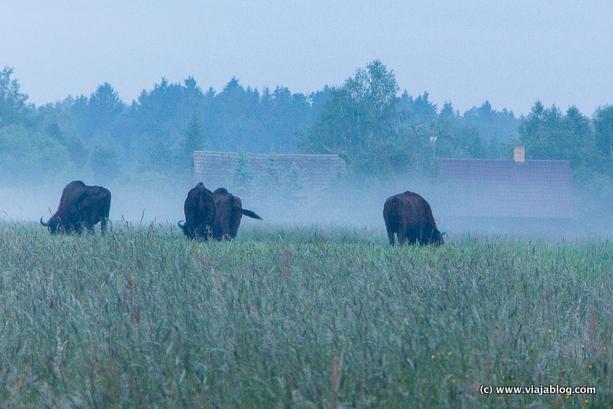 Bisontes salvajes junto a una granja en Bialowieza (Polonia)