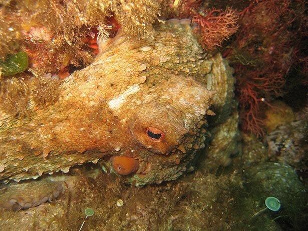 Un buen pulpo bajo el mar